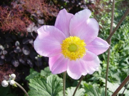 anemone2Rousham