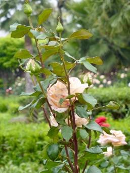K-garden_rose2