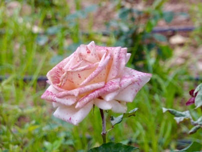 K_garden_rose1