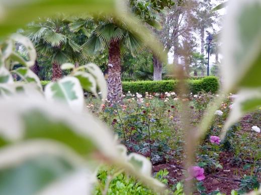 K_garden_rose3