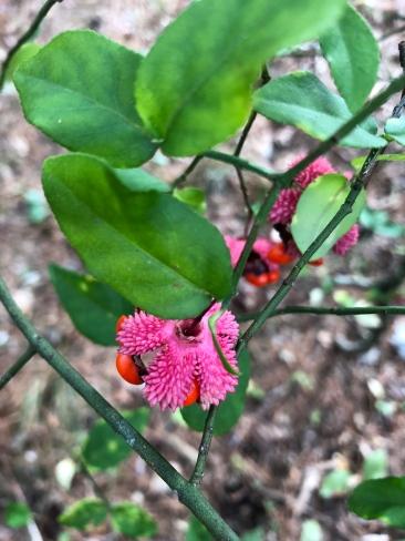 Euonymus americanus3