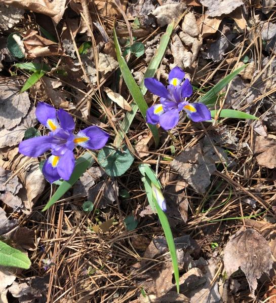 dwarf iris3