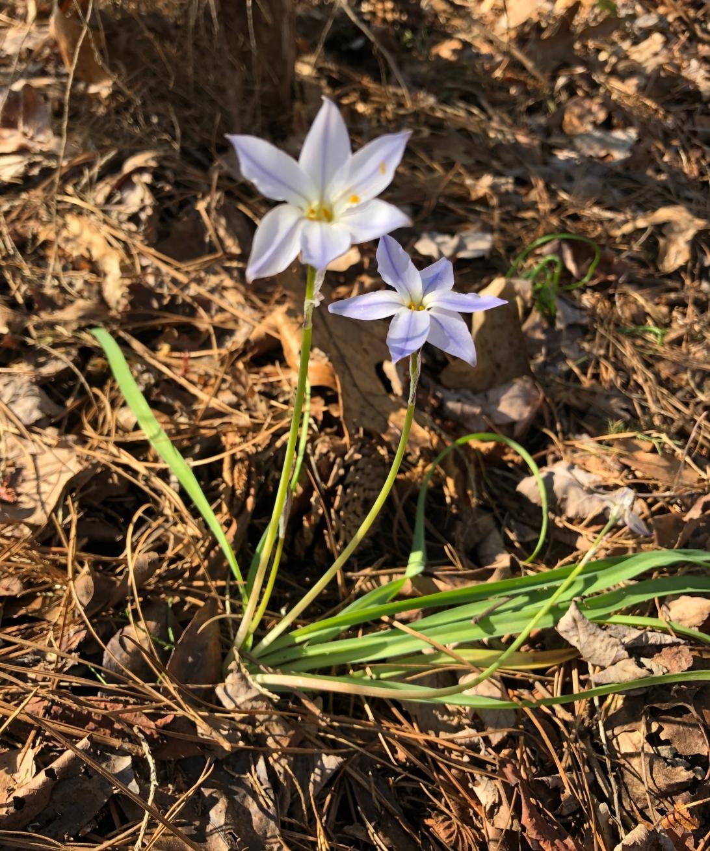 spring-star-flower-2.jpg