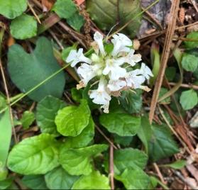 ajuga reptans f. albiflora 'Alba'1