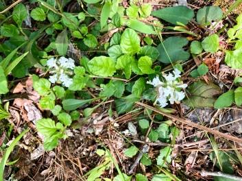 ajuga reptans f. albiflora 'Alba'2
