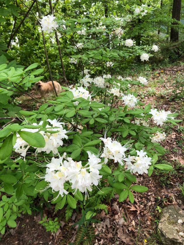 Rhododendron alabamense3