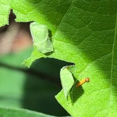 GB catterpillar