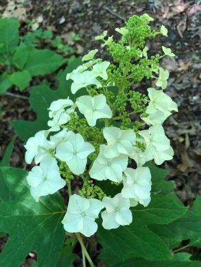 oak leaf1