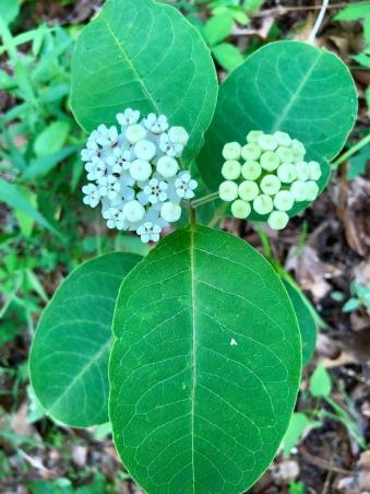 redring milkweed