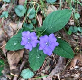 Carolina wild petunia3