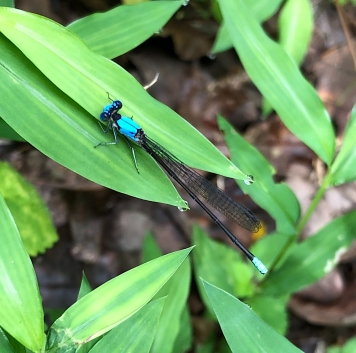 damselfly blue