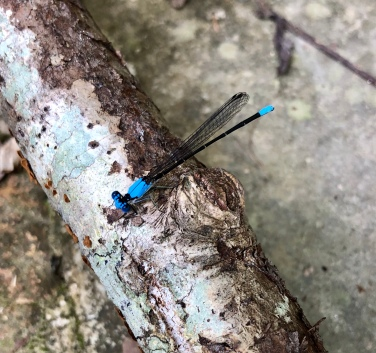 damselfly blue2