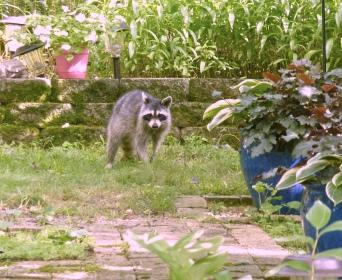 raccoon day1
