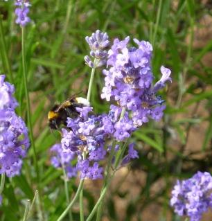 white-tailedbumblebeesjc_garden12July2010