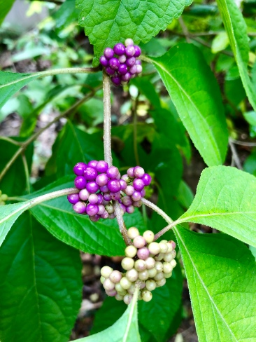 beautyberry2