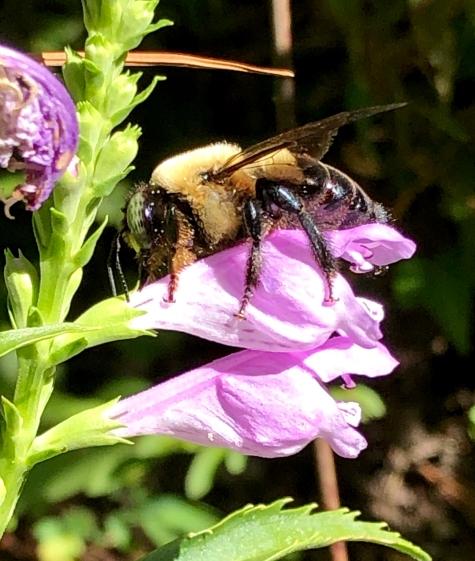 obedient plant bee