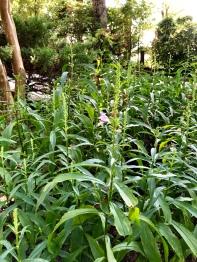 obedient plant2