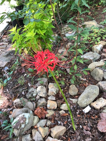spider lily2