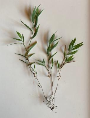stiltgrass3