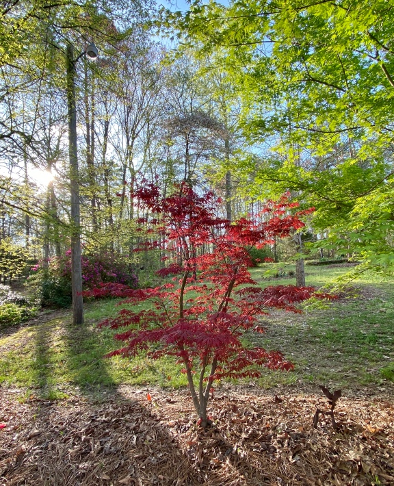 Monday, red Japanese maple