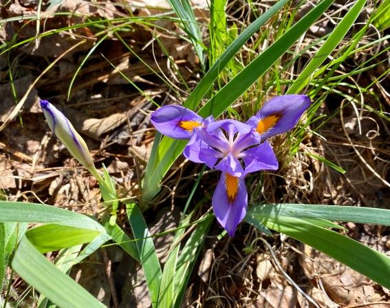 dwarf Iris