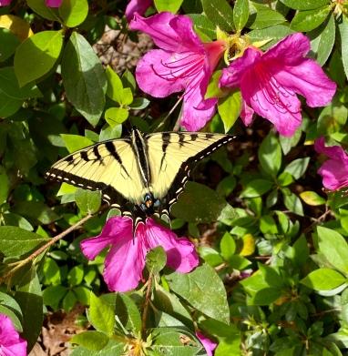 Friday, azalea tiger swallowtail