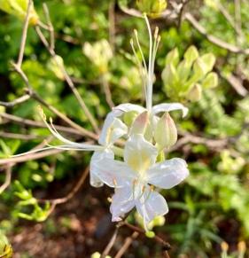 Rhododendron alabamence4