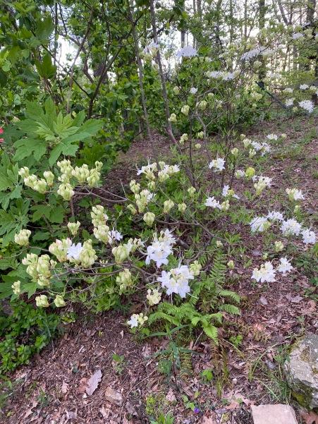Rhododendron alabamense1