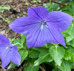 balloon flower1