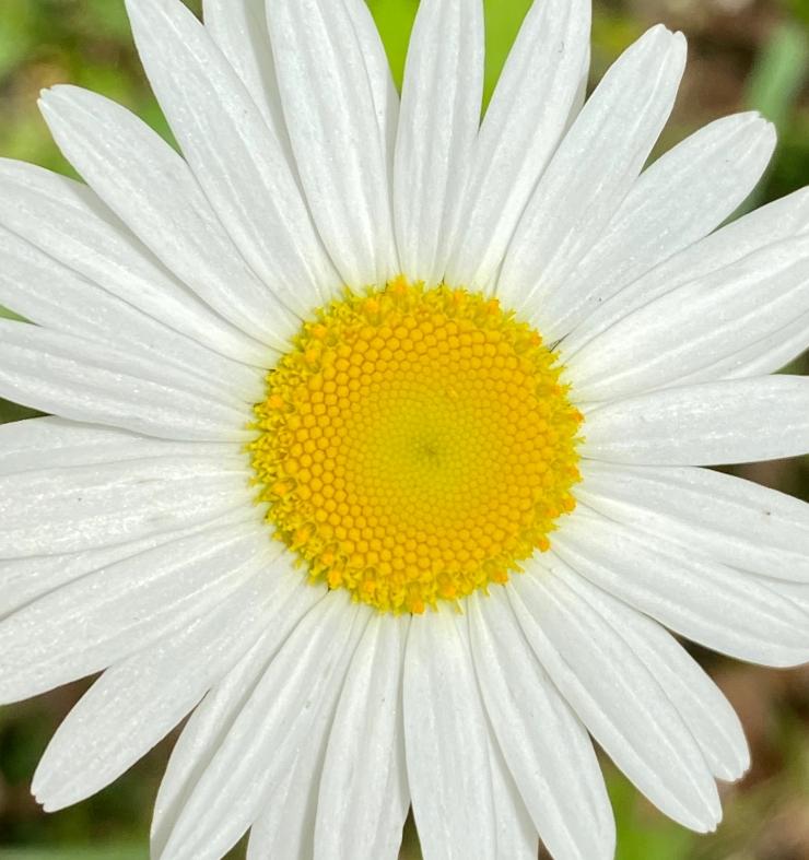 oxeye daisy1 6 May 2020