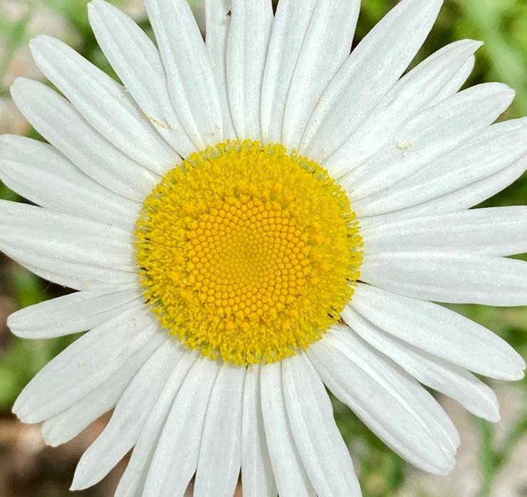 oxeye daisy2 6 May 2020
