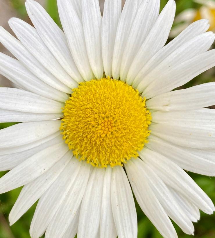 oxeye daisy3 6 May 2020