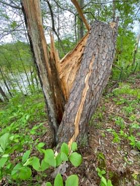 spruce split