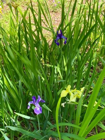 Siberian iris3