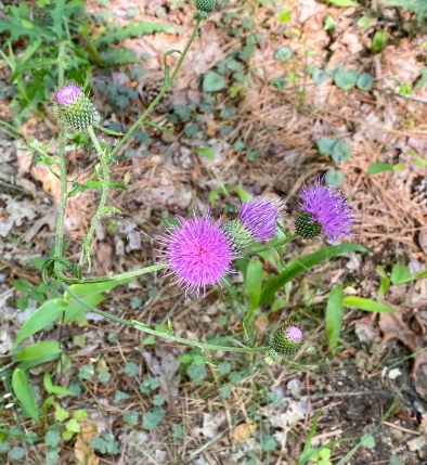southern thistle2