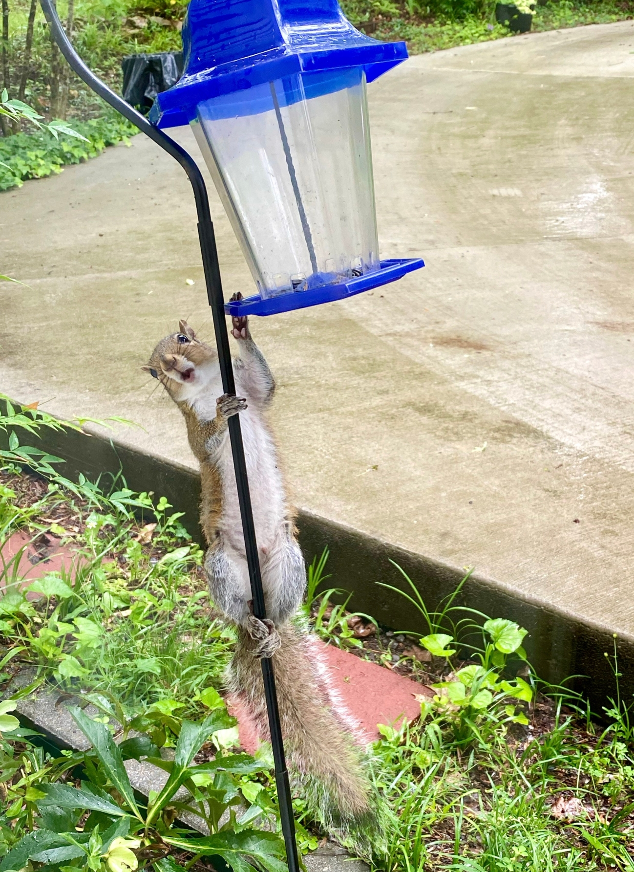 squirrel 27 May 2020
