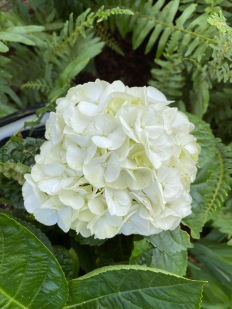 white hydrangea2