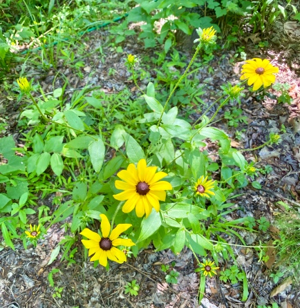 black-eyed Susan2