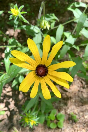 black-eyed Susan3