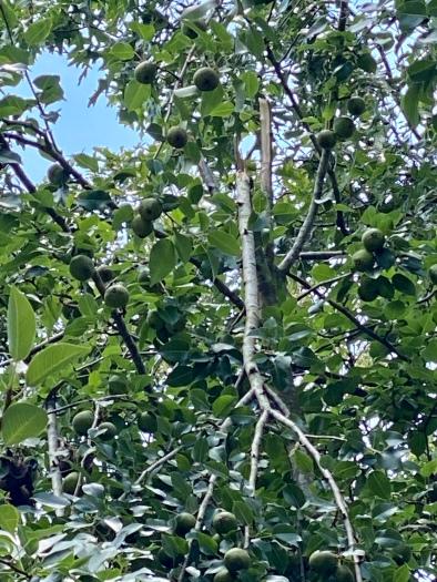 pear4 pyrus communis
